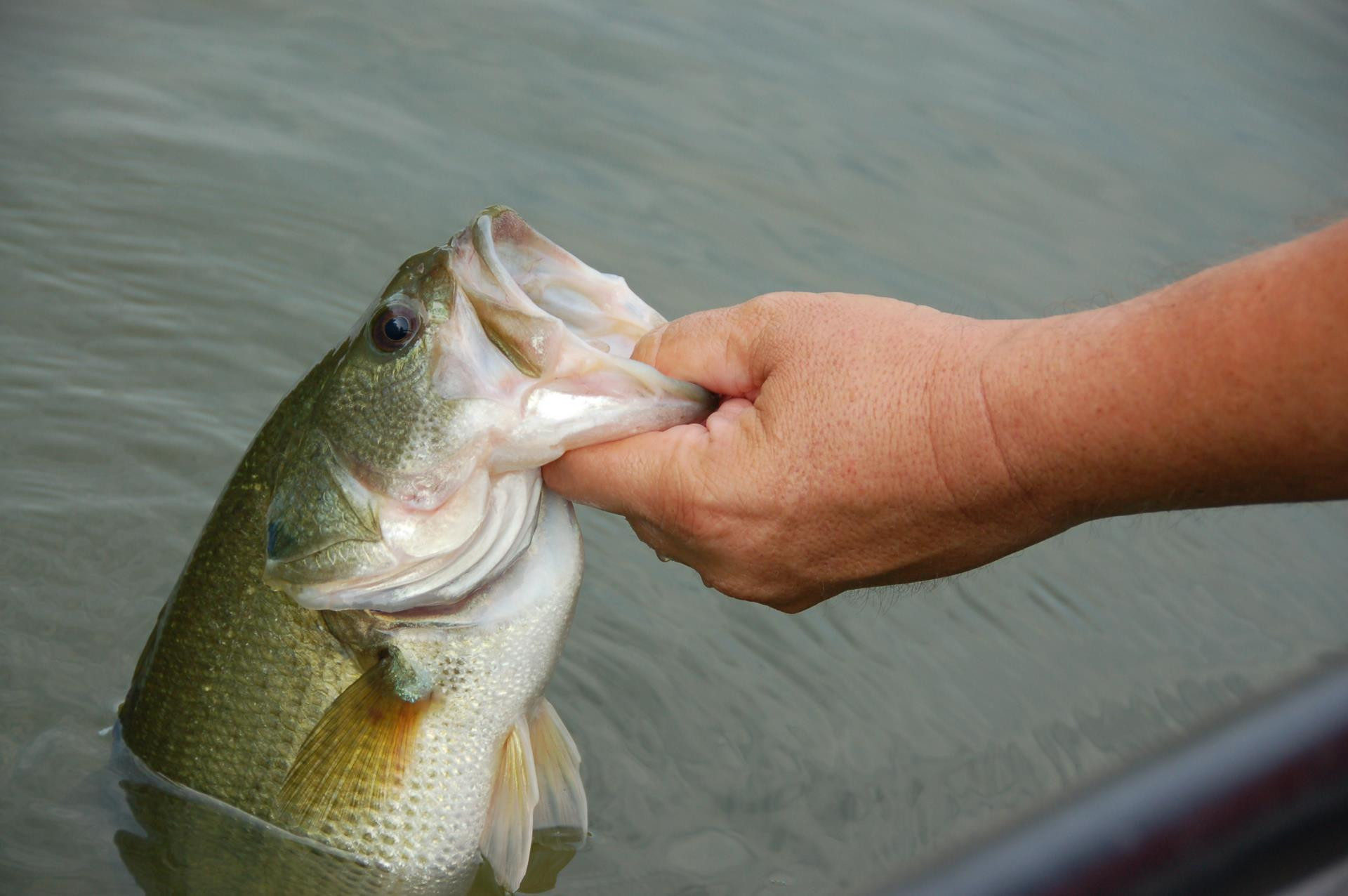 largemouth bass being held by lip