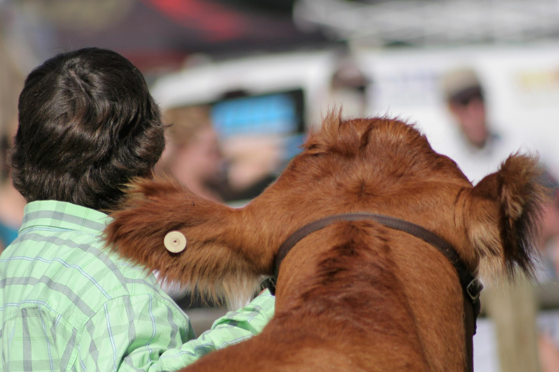 back of male persons head and back of brown cow's head